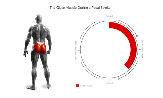 Z4YPxV5SeuyRzzy8SSim_GluteMuscleDuringPedalStroke.png